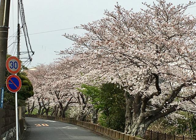 二宮町桜並木