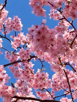 鳥海ビルに咲く桜