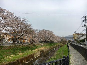 二宮町一色・百合が丘の桜並木