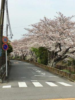 一色・百合が丘の桜並木